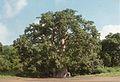 Baobab à Sakouli (3051367357).jpg