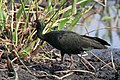 Bare-faced ibis (Phimosus infuscatus).JPG
