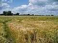Barley field - geograph.org.uk - 191689.jpg