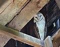 Barn Owl (34859918144).jpg