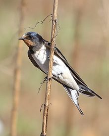 Barn swallow, Hirundo rustica, at Suikerbosrand Nature Reserve, Gauteng, South Africa (23006969439).jpg