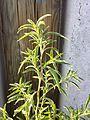 Bassia scoparia sl21.jpg