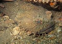 Batrachomoeus dubius