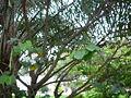 Bauhinia variegata 0005.jpg