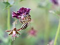 Bee gathering nectar (13931156719).jpg