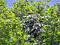 Bee swarm on great maple.JPG