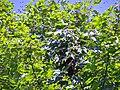 Bee swarm on great maple.JPG