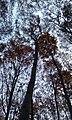 Beech forest - panoramio.jpg