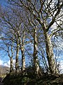 Beech trees, Beggar's Bush - geograph.org.uk - 750947.jpg