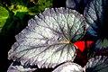 Begonia (26).jpg