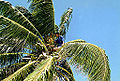 Belize 1997.5 Coconut Palm.jpg