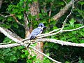 Belted Kingfisher (21308008501).jpg