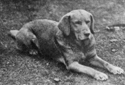 Ben of Hyde (b.1899), the first recognised yellow Labrador.