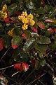 Berberis aquifolium 4224.JPG