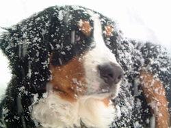 Bernese Mountain Dog 1.JPG