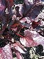 Beta vulgaris var conditiva Різновидність буряка столового із забарвленими черешками і пластинками листків.jpg