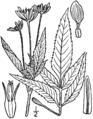 Bidens vulgata BB-1913.png