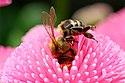 Biene in Norddeutschland.jpg
