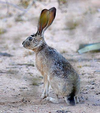 Black-tailed jackrabbit - Black-tailed jackrabbit sitting