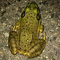 Big bullfrog on the road - 2.jpg