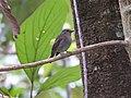 Bird Small Niltava Female 03.jpg