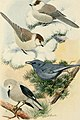 Bird lore (1919) (14750355755).jpg