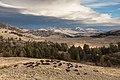 Bison Herd grazing as a storm rolls in (30766919004).jpg