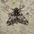 Biston strataria (Geometridae) (Oak Beauty) - (imago), Gent, Belgium.jpg
