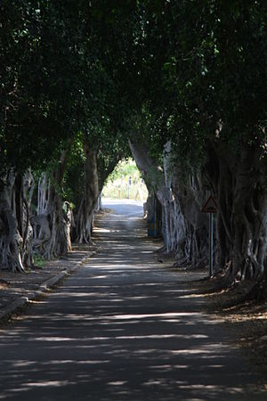 Bitan Aharon - Avenue of ficus trees