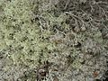 Bitter and Gray Reindeer Lichens (3816255668).jpg