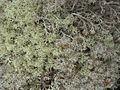 Bitter and Gray Reindeer Lichens (3816255668).jpg