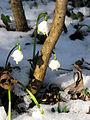 Blühende Märzenbecher am Honigbuck im Freiburger Mooswald 3.jpg
