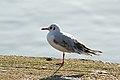 Black-Headed Gull (6851863640).jpg