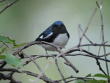 A bird with a blue back, black sides and white belly sits in the undergrowth, facing forward
