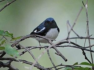Black-throated blue warbler - Male