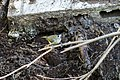 Black-crested titmouse (39807079743).jpg