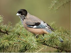 Black-headed-jay-rkd (cropped).jpg