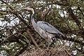 Black-headed Heron (27916529820).jpg