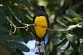 Black-headed Trogon (5295136069).jpg