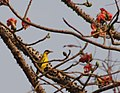 Black-naped Oriole Oriolus chinensis at Goregaon BNHS Nature Reserve IMG 4960 (2).JPG