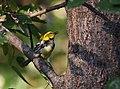 Black-throated Green Warbler (43189502180).jpg