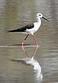 Black-winged Stilt, Common Stilt, or Pied Stilt, Himantopus himantopus at Mapungubwe National Park, Limpopo, South Africa (18015026459).jpg