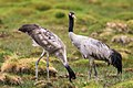 Black Necked Crane (167276259).jpeg