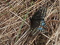 Black Swallowtail (Papilio polyxenes), Female.jpg