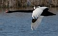 Black Swan in Flight Crop.jpg
