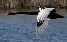 الاوز الاسود 220px-Black_Swan_in_