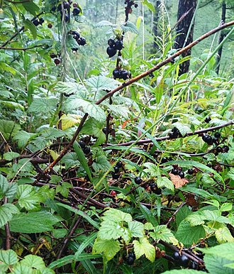 Blackcurrant - Black currant in the mountains of Zakamensky district of Buryatia, Russia