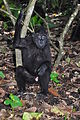 Black macaque (8387457154).jpg
