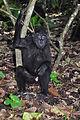 Black macaque (8387457154).jpg