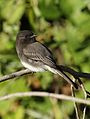 Black phoebe, Sayornis nigricans, along the Guadalupe River in Santa Clara, California, USA (25319828549).jpg